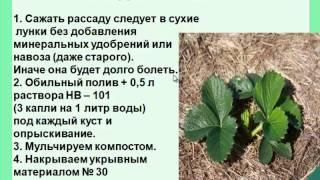 видео выращивание земляники