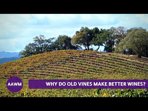 Why do old vines produce better wine grapes? (It's the Mycorrhiza)