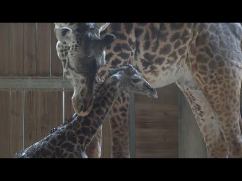Baby Giraffe Awkwardly Tries to Stand and Walk for the First Time