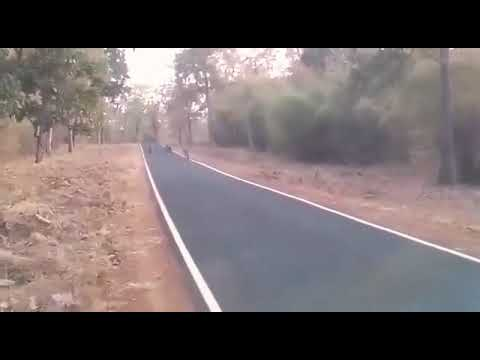 Four tigers walking on the road | horrible moment | Mul road