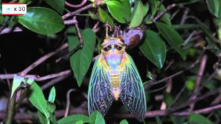 【閲覧注意】羽化の様子をアップで撮影しています。虫が苦手な方はご注...