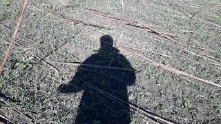 Бризкання пшениці