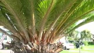 White scale on sago palm