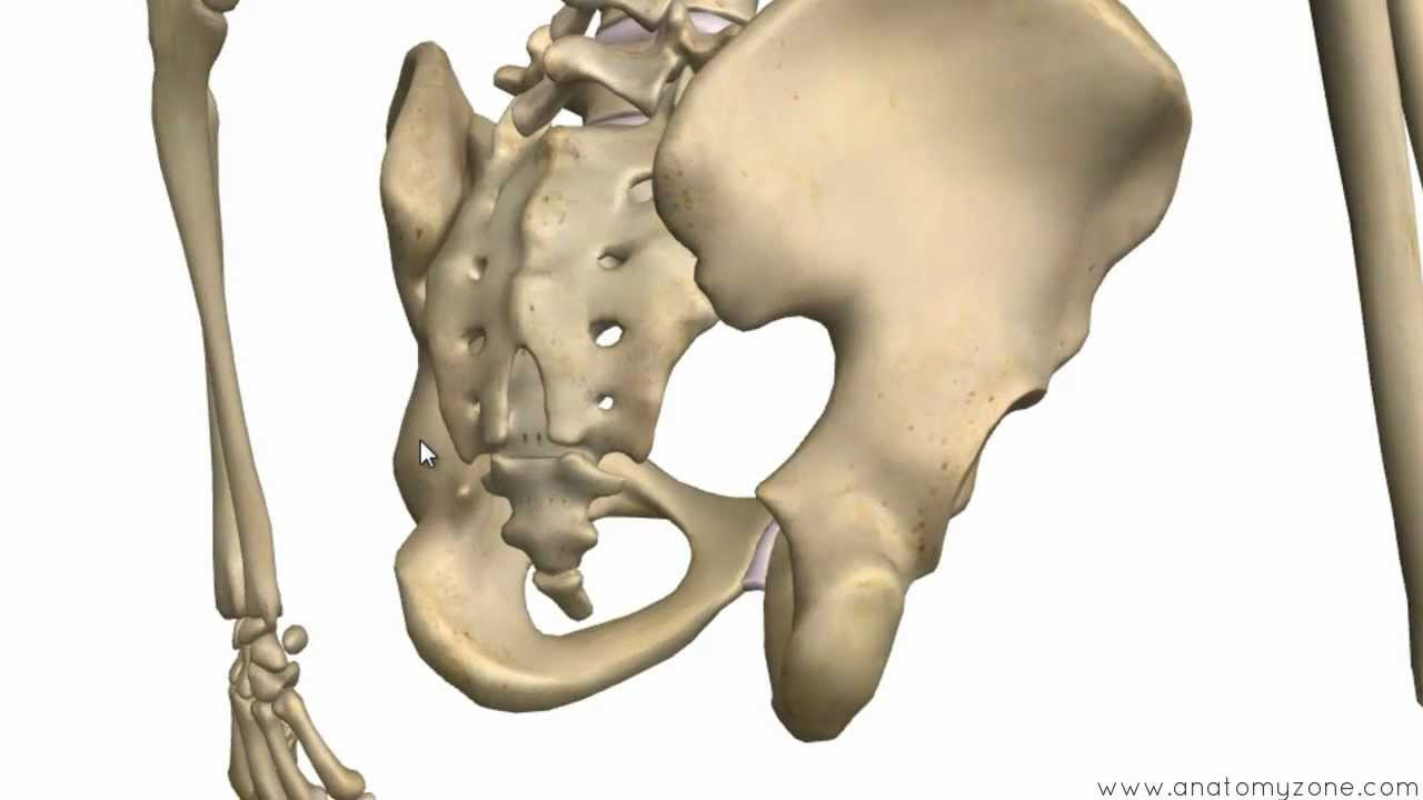 bones of the pelvis - hip bones - anatomy tutorial - youtube, Skeleton