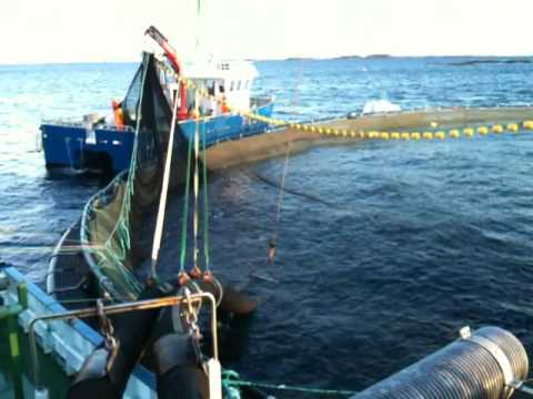 Farming of Norwegian Salmon