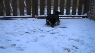 My Miniature Schnauzer Willow Playing In The Snow!