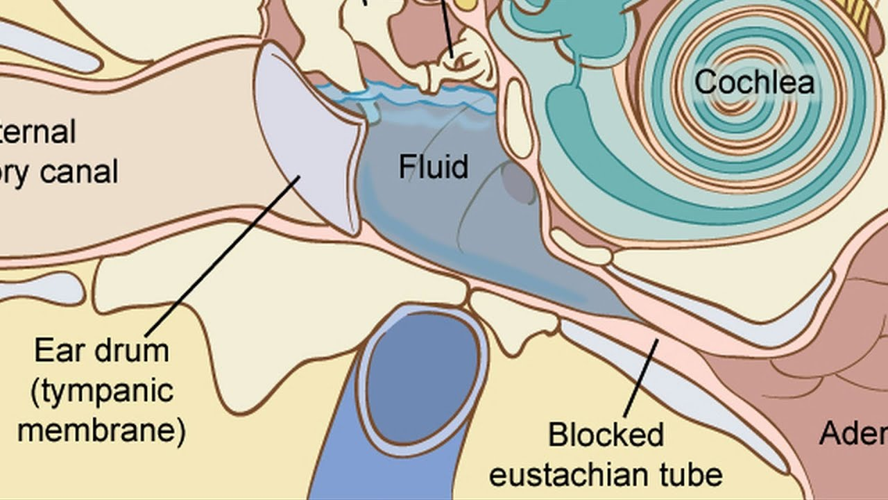 hight resolution of inner ear diagram