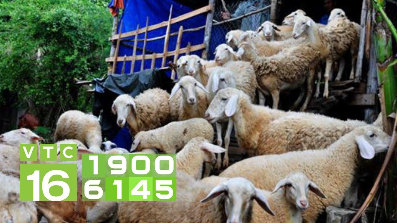 Điều trị bị bệnh viêm phổi cấp ghép tụ huyết trùng cho cừu | VTC16