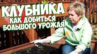КАК ПОЛУЧИТЬ БОЛЬШОЙ УРОЖАЙ КЛУБНИКИ ?🍓КЛУБНИКА ВЕСНОЙ 🍓  выращивание клубники