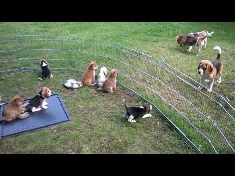 Beagle & shiba from Łaciata Sfora kennel