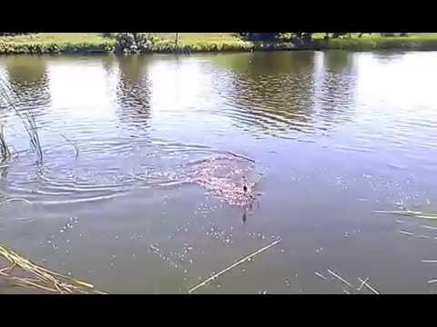 ловля толстолобика на удочку видео ютуб