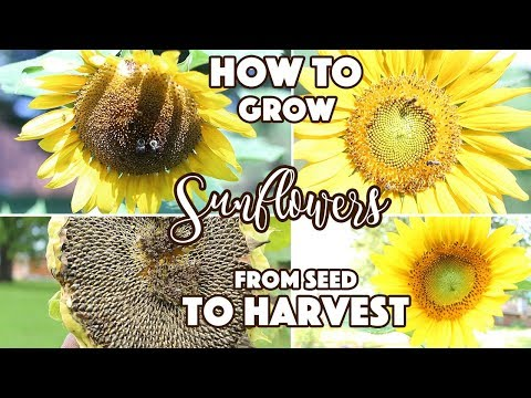 how-to-grow-sunflowers-from-seed-to-harvest-//-monday-motivations-//-a-beautiful-nest-tv