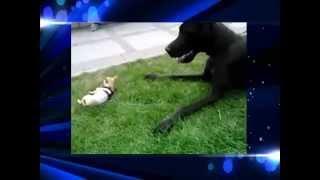 Смешные собаки   большой дог и маленькая чихуахуа