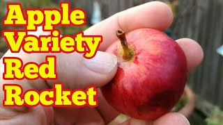 Gambar cover Apple variety Red Rocket | Description And Taste