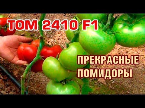 TOM 2410 F1 - ОБАЛДЕННЫЙ КРАСНЫЙ ПОМИДОР С МОЩНОЙ БОТВОЙ (13-06-2018)