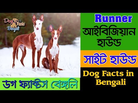 Ibizan Hound dog facts in bengali | Sight Hound | Dog Facts Bengali