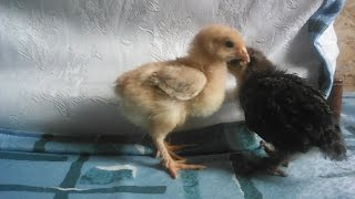 Цыплята кормление и уход в 2 недели жизни!