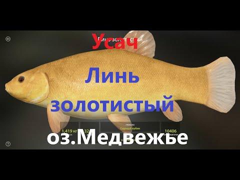 Усач обыкновенный, Линь золотистый-оз.Медвежье-Русская Рыбалка 4-РР4-RF4