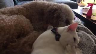 Cat Annoys Dog Sister
