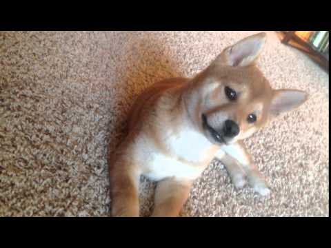 Akira the Shiba Inu puppy and some funky music playing in the background.