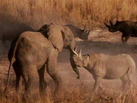 Elephant Fights Rhino