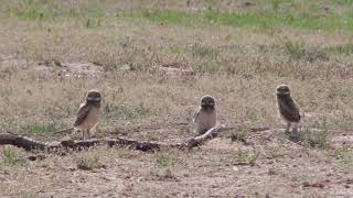 Wild Adventures presents Burrowing Owls