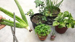 Natural fertilizer from aloe vera | Fertilizer for any plants | Organic fertilizer