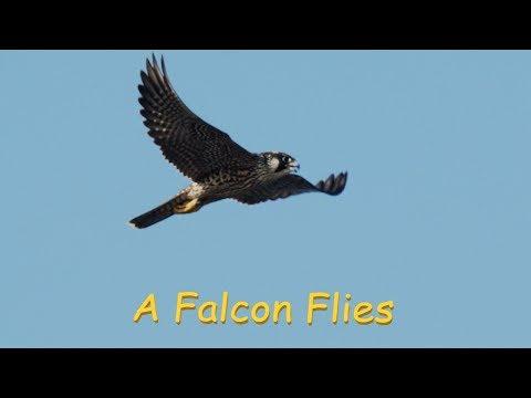 Saker Falcon ハヤブサ 関東の海岸 9月上旬 野鳥4K 空屋根FILMS#1091