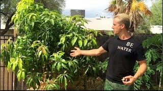 Amazing Phoenix, Arizona Fruit Trees in 115 Degree Heat