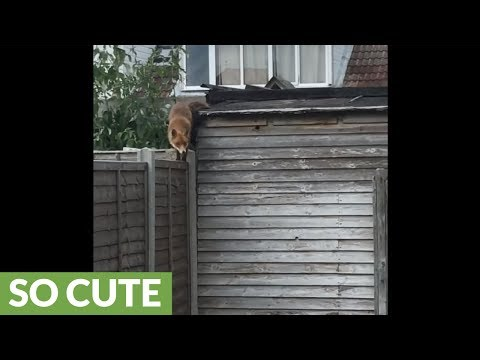Random wild fox happily sits on backyard shed