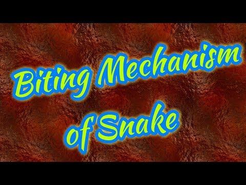 Biting Mechanism of Snake