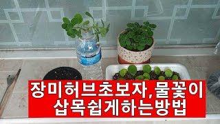 장미허브초보,수경재배,심기,번식,물주기,관리꿀팁
