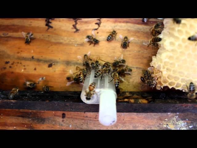 Queen Bee Piping