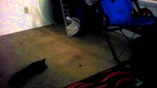 Miniature Pinscher Miss Cali Play With Her Food