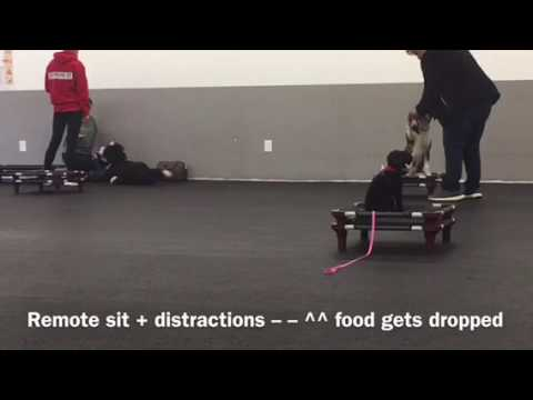 Toy Poodle Obedience