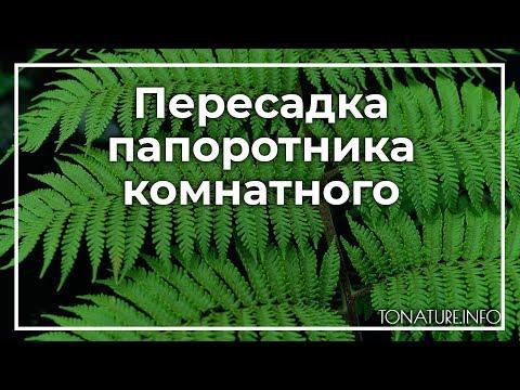 Пересадка папоротника комнатного | ToNature.Info