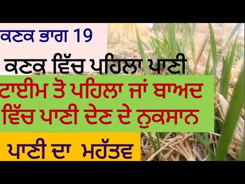 Water Management in Wheat wheat Part 19, ਕਣਕ ਨੂੰ ਪਾਣੀ ਕਦੋ ਲਗਾਈਏ,By Sher Gill Markhai