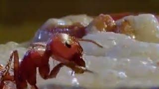Fire Ants vs People | Wildlife | BBC Studios