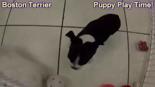 Boston Terrier, Puppies For Sale, In Atlanta, Georgia, Ga,savannah,sandy Springs,roswell