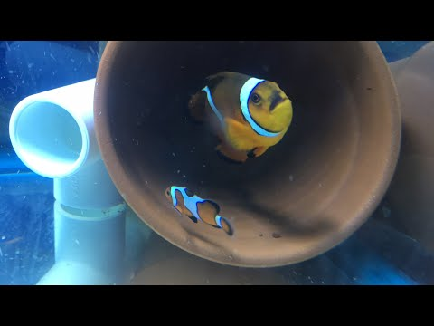 Answering Questions: Is Keeping Marine Fish Ethical? Do fish have free will? Clownfish Courtship ctd