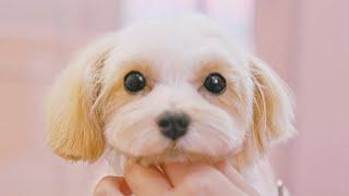 Tus ojos son Heartthrob♡(Maltés x Toy Poodle Grooming)