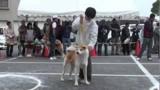 第94回 秋田犬保存会 関西総支部展 供覧犬.