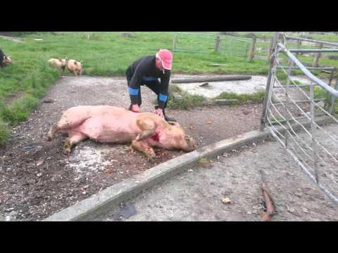 Pig Homekilled Humanely