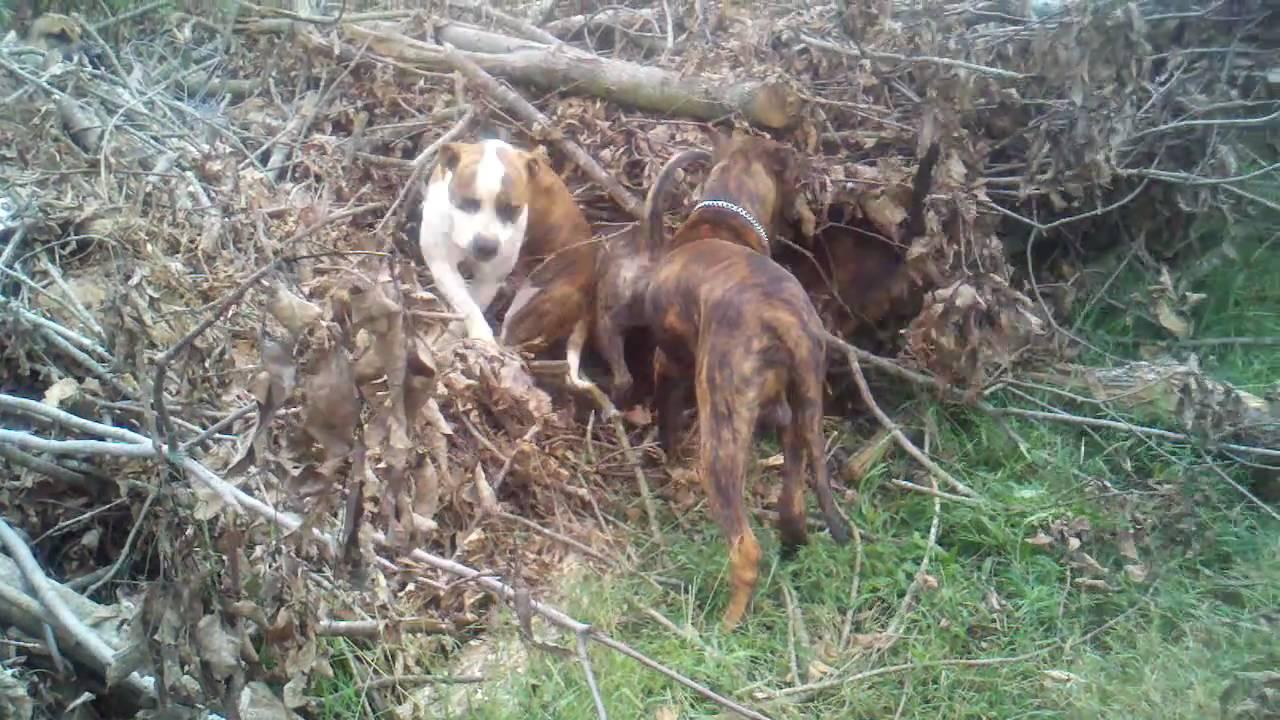 Dogs hunting - Presa Canarios, American Bulldog, Pitbull/Blue Tick  Coonhound mix