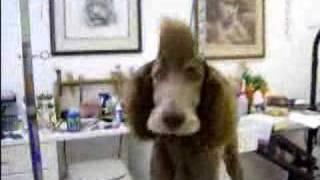 Mohawk Punk Poodle