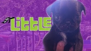 One of InTheLittleWoods's most viewed videos: Welcome InTheLittlePug (Cuteness Warning)