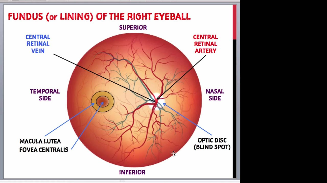 Anatomy Of The Eye For Non