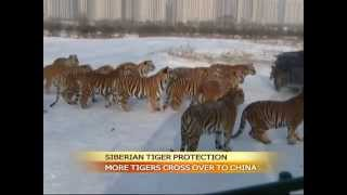 """Siberian tigers """"stray into China"""" from Russia"""