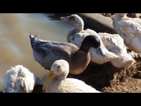 Duck farming in Kenya | Ziwani Poultry