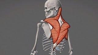 Mamy 7 mięśni czworobocznych - sprawdź jakie !